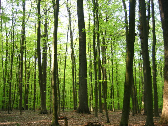 beech forest - free image