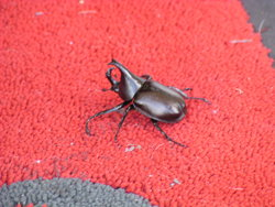 Beetle from close