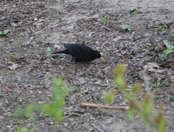 black bird with yellow bick
