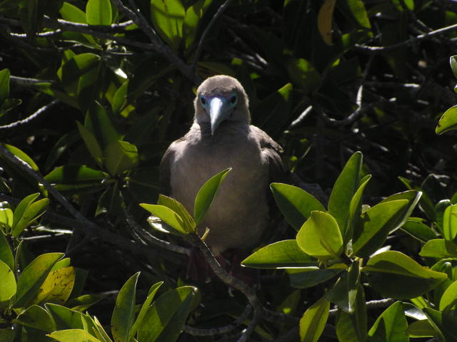 Blue-footed Boobie - free image