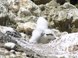booby in nest
