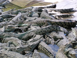 breeding center for crocodiles