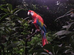 bright red macaw