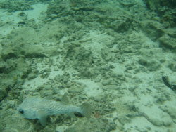 camouflaged pufferfish