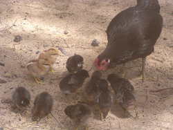 chicken feeding the babies