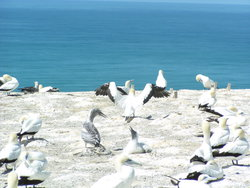 colony of booby