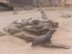 Colony of sea lion
