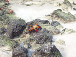 crab invasion