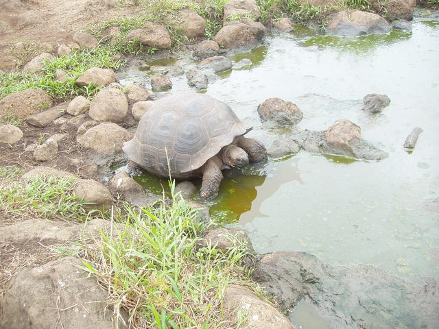 dome shaped tortoise - free image