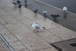 Doves and sea gulls