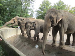 Elephants in zoo.