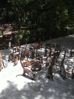 features of coatis