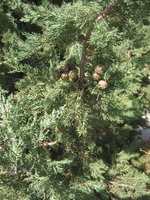 Fruits in pine