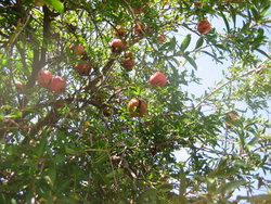 fruits in tree