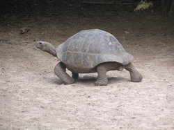 giant tortoise walking