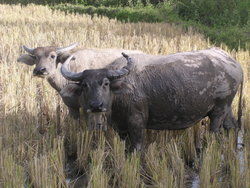 grazing buffaloes