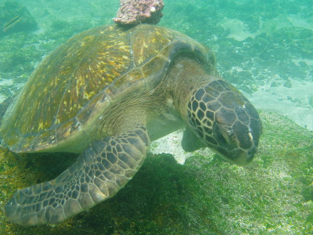 Green Sea turtle - free image