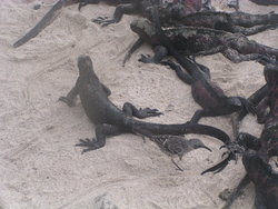 group of iguana