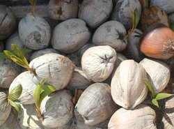 growing climate of coconut
