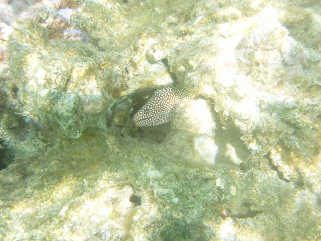 Guineafowl Puffer - free image