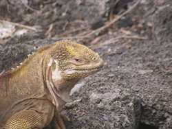 head of Wild lizard