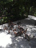 herd of coatis