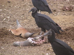 hungry vultures