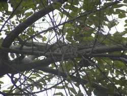 Iguana hiding in tree