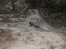 iguana on a rock bed