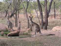 Kangaroo´s great shot