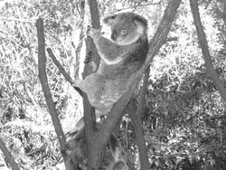 Koala in the branches