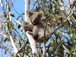 Koala in the middle of the tree