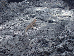 lizard on vulcanic rocks