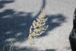 lonely grass flower