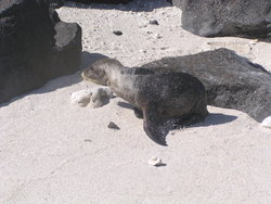 lost baby sealion