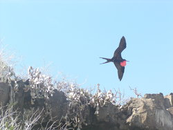 Magnificent frigate bird flying