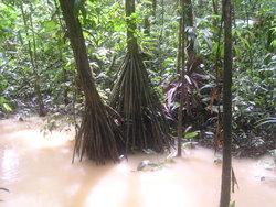 mangrove jungle