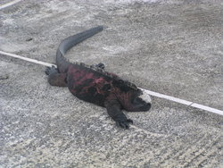 Marine Iguana on road