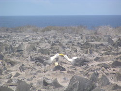 mating albatrosses