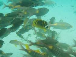 More veriety of yellow fishes