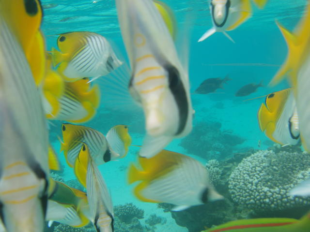 More yellow fishis - free image