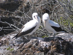 Nazca booby couple