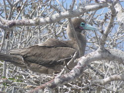 nesting red footed booby