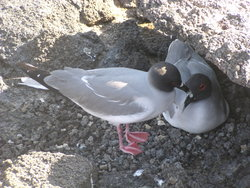 nesting swallow tailed gull