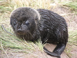 New born seal