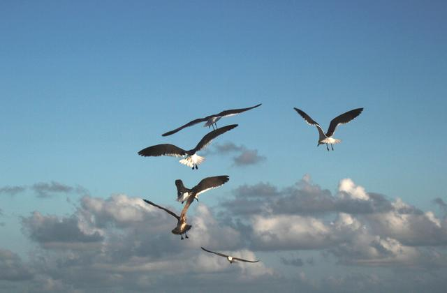 Pacific Gull - free image