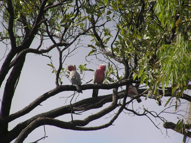 pair of Galah - free image