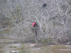 pair of Magnificent frigate birds