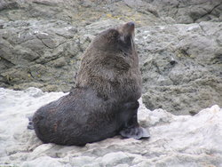 pointy-nosed New Zealand fur seal
