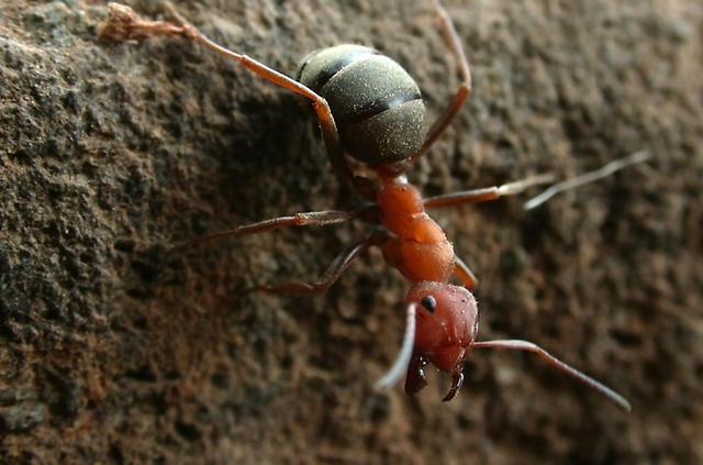 red ant - free image